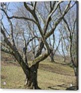 Yellowwood Tree In Winter Acrylic Print