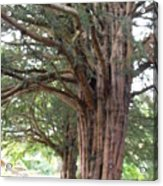 Yew Tree Entrance Acrylic Print