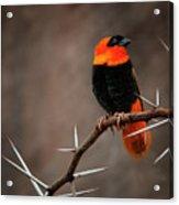 Yikes Spikes - Red Bishop Weaver Bird Acrylic Print