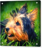 Yorki Acrylic Print