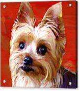 Yorkie 2 Acrylic Print