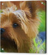 Yorkie In The Grass - Painting Acrylic Print