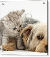 Yorkshire Terrier And Tabby Kitten Acrylic Print