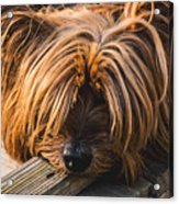 Yorkshire Terrier Biting Wood Acrylic Print