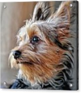Yorkshire Terrier Dog Pose #2 Acrylic Print
