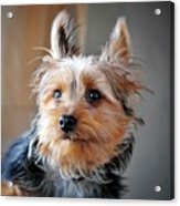 Yorkshire Terrier Dog Pose #3 Acrylic Print