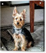 Yorkshire Terrier Dog Pose #6 Acrylic Print