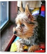 Yorkshire Terrier Dog Pose #8 Acrylic Print