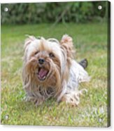 Yorkshire Terrier Is Smiling At The Camera Acrylic Print