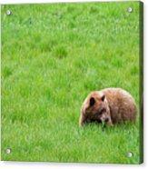 Yosemite Bear Acrylic Print