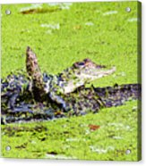 Young Alligator On A Log Acrylic Print