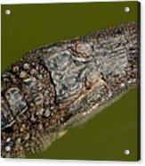 Young Alligator With Textured Skin Acrylic Print