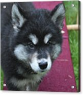 Young Alusky Puppy Standing On A Teeter Totter Acrylic Print