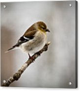 Young American Golden Finch 1 Acrylic Print