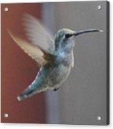 Young Anna's Hummingbird In Flight Acrylic Print