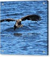 Young Bald Eagle I Acrylic Print