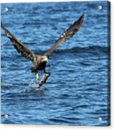 Young Bald Eagle II Acrylic Print