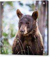 Young Black Bear Acrylic Print