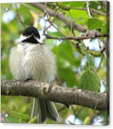 Young Black-capped Chickadee Acrylic Print