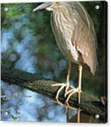 Young Black Crowned Night Heron Acrylic Print