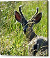 Young Black-tailed Deer With New Antlers Acrylic Print