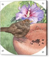 Young Blackbird After Raisins Acrylic Print