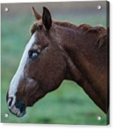 Young Blind Horse In The Rain Acrylic Print