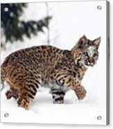 Young Bobcat Playing In Snow Acrylic Print by Melody Watson
