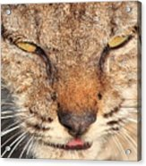 Young Bobcat Portrait 01 Acrylic Print by Wingsdomain Art and Photography