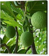 Young Breadfruit Acrylic Print