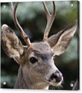 Young Buck Acrylic Print