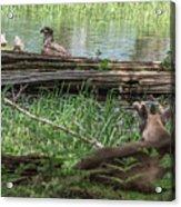 Young Buck Watching Eagle Acrylic Print