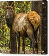 Young Bull Elk Acrylic Print
