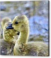 Young Canadain Goose Acrylic Print