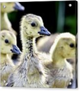 Young Canadian Goose Goslings Acrylic Print