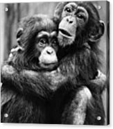 Young Chimpanzees Acrylic Print
