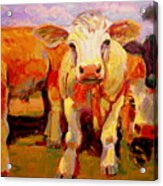 Young Cow Acrylic Print