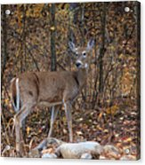 Young Deer Acrylic Print
