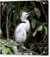Young Egret Costa Rica Acrylic Print