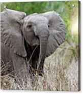 Young Elephant In The Light, Africa Wildlife Acrylic Print