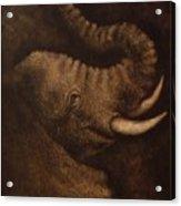 Young Elephant Portrait Acrylic Print