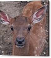 Young Elk Fawn Acrylic Print