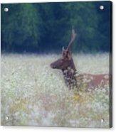 Young Elk In The Smokies. Acrylic Print