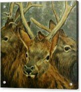 Young Elk Trio- Wapiti Acrylic Print