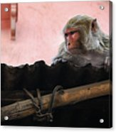 Young Female Asian Monkey Sitting On The Roof Acrylic Print