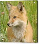 Young Fox Acrylic Print