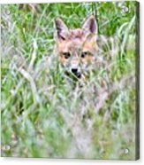 Young Fox Kit Hiding In Tall Grass Acrylic Print