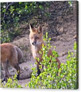Young Foxes At The Den Acrylic Print