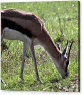 Young Gazelle Acrylic Print