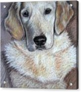 Young Golden Retriever Acrylic Print